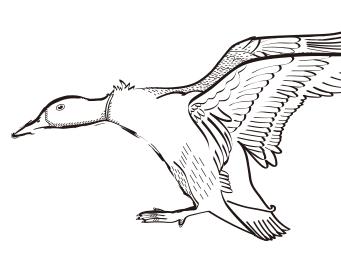Wild duck·鸭尚优