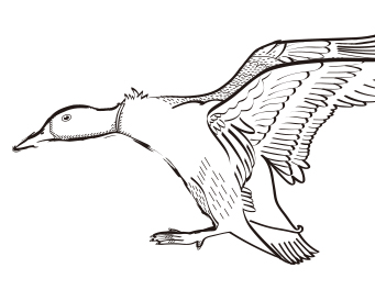 Wild duck·鴨尚優